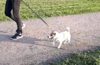 Собака тянет поводок на прогулке: что делать