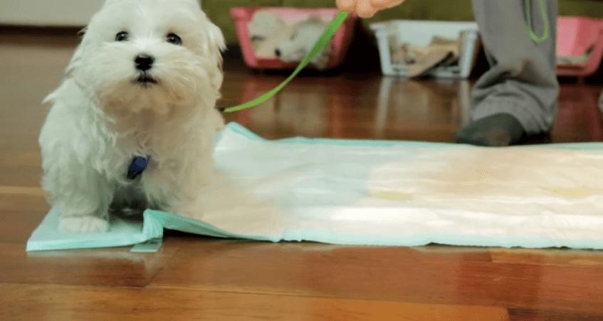 Как отучить щенка писать дома. Выводите на прогулку каждые 2-3 часа. Хвалите на улице.