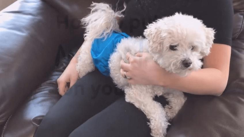 Если собака писает дома, временно можно надевать ей памперсы. Гуляйте с щенком каждые 2-3 часа, чтобы приучить к туалету на улице.