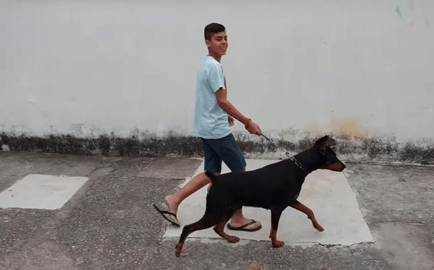 Если собака тянет поводок на прогулке, надо еще дома начать заниматься с ней, чтобы научить сохранять спокойствие.