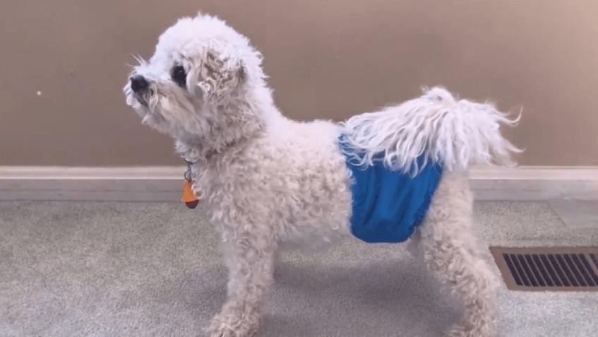 Если у собаки недержание мочи, на время лечения надевайте ей памперсы.