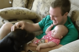 Лабрадор: плюсы и минусы в домашних условиях