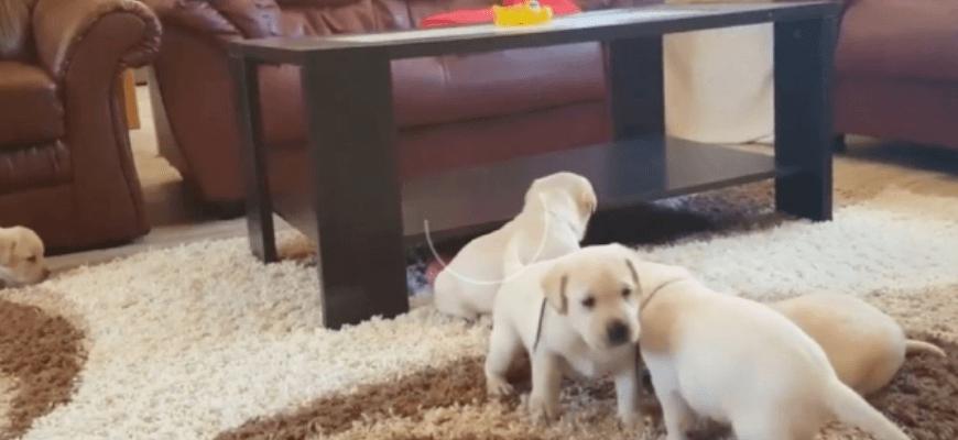 Как выбрать щенка лабрадора из помёта