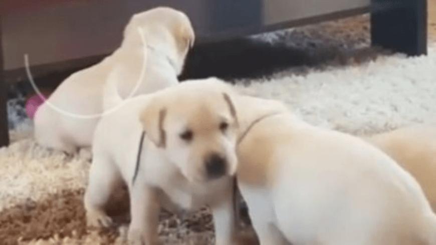 Как выбрать щенка лабрадора, чтобы он соответствовал требованиям стандарта
