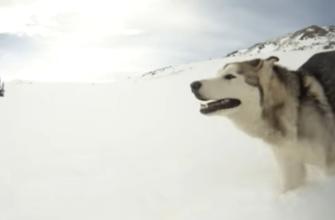 Сибирский хаски: плюсы и минусы породы при содержании в квартире