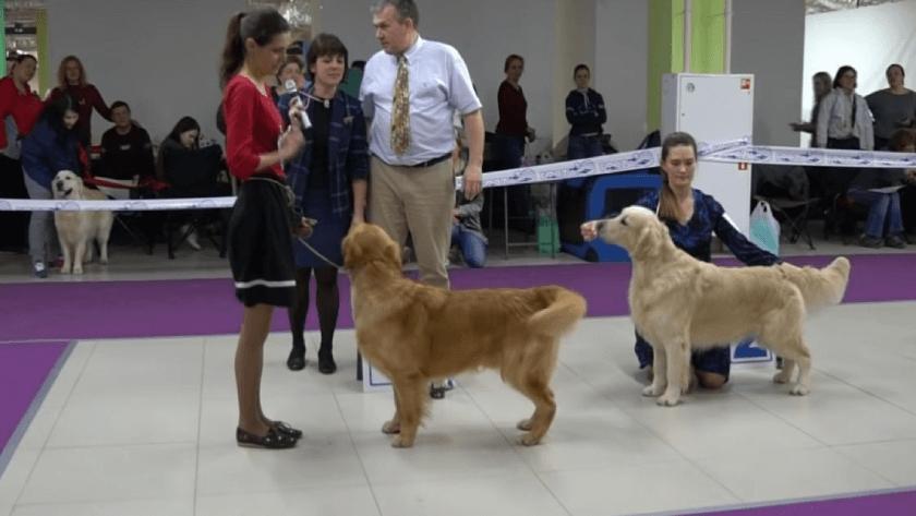 Выставка собак: что взять с собой?