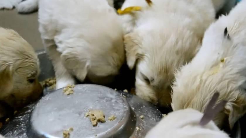 Кормление золотистого ретривера: щенка и взрослой собаки
