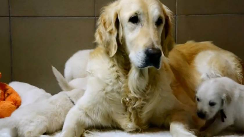 Прививки для щенка золотистого ретривера