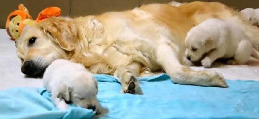 Золотистый ретривер: купить щенка в питомнике Лад Юнити