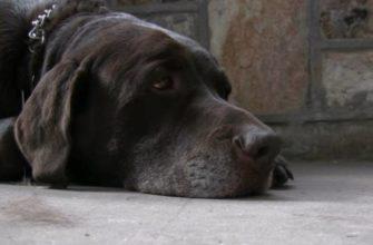 Тепловой удар у собаки: что делать