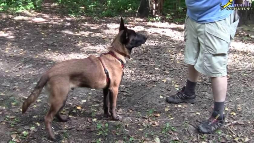 Как научить взрослую собаку команде Голос