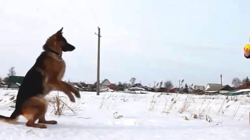 Дрессировка собаки на дистанции